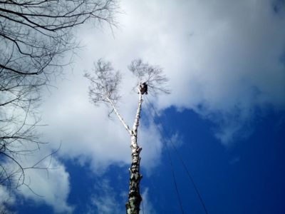 pielęgnacja i wycinka drzew kraków (1)